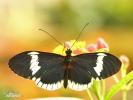Motýl (Heliconius eleuchia)