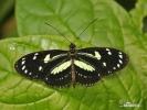 Motýl (Heliconius atthis)