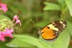 Motýl (Tithorea harmonia)
