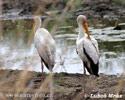 Nesyt africký (Mycteria ibis)
