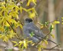 Penica čiernohlavá (Sylvia atricapilla)