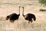 Pštros dvouprstý (Struthio camelus)