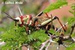 Saranče (Acrididae sp.)