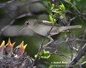 Sedmihlásek šedý (Hippolais pallida)