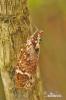 Svítilka (Phrictus moebiusi)