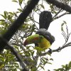 Tukan krátkozobý (Ramphastos sulfuratus)