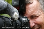 Žako kongo, papoušek šedý (Psittacus erithacus)
