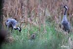 Žeriav popolavý (Grus grus)