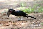 Zoborožec křiklavý naříkavý (Bycanistes bucinator)
