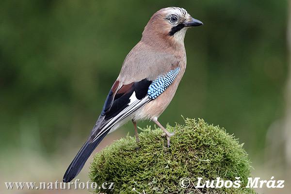 Sójka Bird