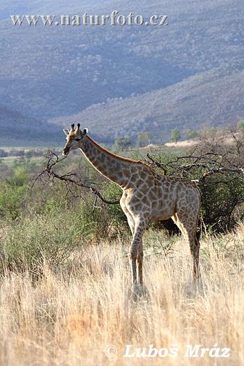Žirafa kapská (Giraffa camelopardalis)