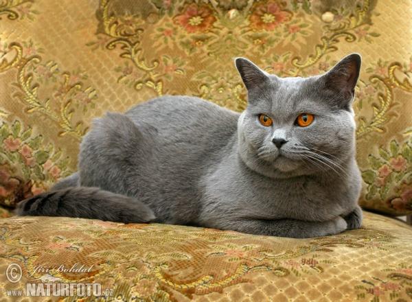 Britská mačka ( felis britannica )