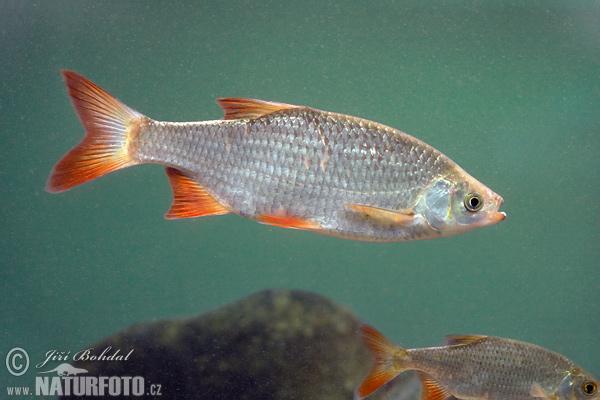 Ervenica ostrobruch naturfoto for Gartenteichfische arten