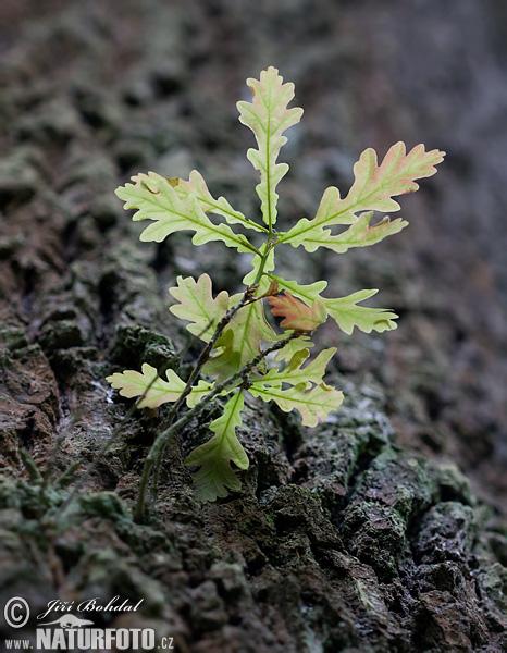 Dub letní ( quercus robur )