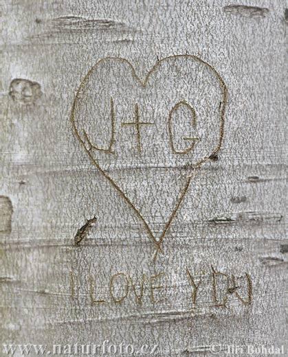 Love you ( fagus sylvatica )