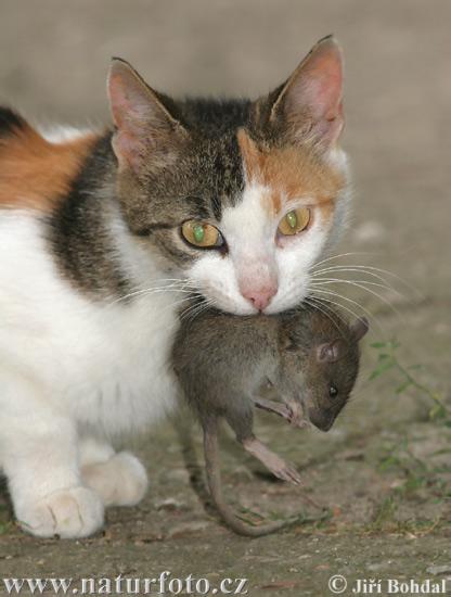 Kočka domácí (Felis silvestris, f. catus)