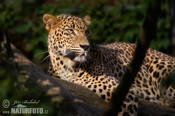 Levhart skvrnity cejlonský (Panthera pardus kotiya)