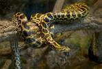 Anakonda žlutá (Eunectes notaeus)
