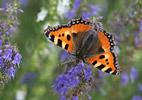 Babôčka pŕhľavová (Aglais urticae)
