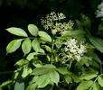 Baza čierna (Sambucus nigra)