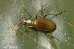 Beetle (Carabus scheidleri)