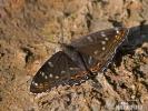 Bělopásek topolový (Limenitis populi)