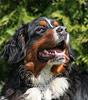 Bernský salašnický pes (Canis lupus familiaris)