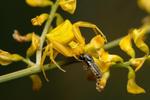 Běžník květomilný (Thomisus onustus)