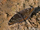 Bielopásavec topoľový (Limenitis populi)