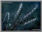Blen (Hyoscyamus sp.)