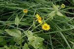 Blšník červěnkovitý (Pulicaria dysenterica)