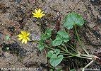 Blyskáč jarný (Ficaria verna subsp. bulbifera)