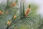 Borovica hladká (Pinus strobus)