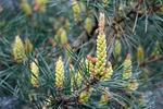 Borovica lesná sosnová (Pinus sylvestris)