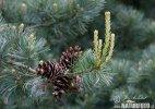 Borovice limba (Pinus cembra)