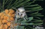 Bourovec borový (Dendrolimus pini)