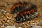 Bourovec ostružiníkový (Macrothylacia rubi)