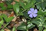 Brčál menší - Barvínek (Vinca minor)