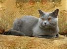 Britská modrá kočka (Felis britannica)