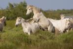 Camargské koně (Equus ferus caballus)