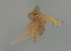 Čolek obecný (Lissotriton vulgaris)