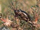 Cvrček (Bradyporus dasypus)