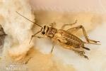 Cvrček domácí (Acheta domestica)