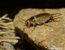 Cvrček stepní (Gryllus assimilis)
