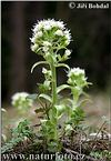 Devětsil bílý (Petasites albus)