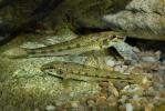 Hrúz obyčajný škvrnitý (Gobio gobio)