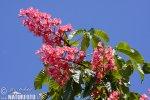 Jírovec pleťový (Aesculus x carnea)