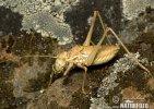 Kobylka (Tettigoniidae)