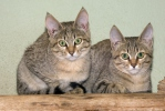 Kočka plavá arabská (Felis silvestris gordoni)