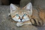 Kočka pouštní (Felis margarita)